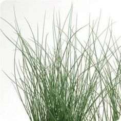 Juncus 39 twisted rush 39 45 90cm x 30 45cm image doesn 39 t do for Ornamental grasses that stay green all year