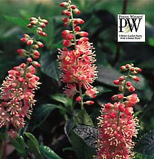 Shrub CLETHRA 'Ruby Spice' 2 gallon container for 25 bucks