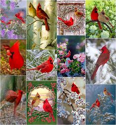 Garden n country. A place to enjoy country and nature Pretty Birds, Beautiful Birds, Beautiful Things, State Birds, Cardinal Birds, Cardinal Meaning, Backyard Birds, Bird Watching, Bird Art