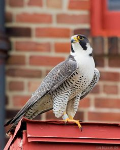 Peregrine Falcon, I'm going to practice falconry with one of these, one day All Birds, Birds Of Prey, Love Birds, Pretty Birds, Beautiful Birds, Animals Beautiful, Exotic Birds, Colorful Birds, Raptor Bird Of Prey
