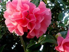 Camelia flowers :)