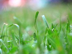Como tratar da praga Grama (ervas daninhas)  Veja mais em http://www.comofazer.org/casa-e-jardim/como-tratar-praga-grama-ervas-daninhas/
