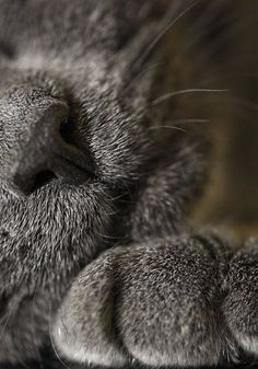 Russian Blue Cats Kittens We all have colds at our house today. Even Mojo is just layin' around. Cat Whiskers, Cat Paws, Dog Cat, Blue Cats, Grey Cats, I Love Cats, Cool Cats, Beautiful Cats, Animals Beautiful