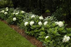 Blushing Bride Hydrangeas sit beside variegated Hostas in this lovely shady garden path. White Hydrangeas in a Hedge Border Garden. Hydrangea Shade, Hydrangea Garden, White Hydrangeas, Dwarf Hydrangea, Landscape Borders, Garden Borders, Landscape Design, Hydrangea Landscaping, Front Yard Landscaping