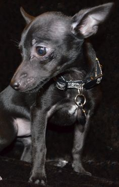 5280 Toy Rat Terriers  Black / bi  Ink    http://www.5280toyratterriers.com/AvailablePuppies.php  303-955-7876