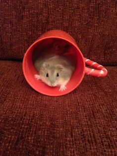 Cup o hamster.
