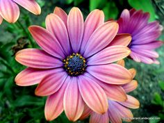 'Zion' African daisy