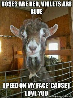 A typical Buck goat! Funny Goat Pictures, Funny Goats, Cute Goats,