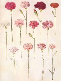 Light red carnations represent admiration, while dark red denote deep love and affection. White carnations represent pure love and good luck, while striped (variegated) carnations symbolise regret that a love cannot be shared.