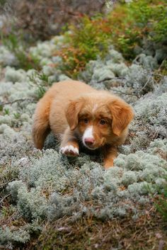 Nova Scotia Duck-tolling retriever = LOVE