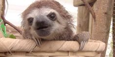 You've Never Known Love Until You've Heard A Baby Sloth Squeak. Prepare yourselves, my friends. This is no joke. <3