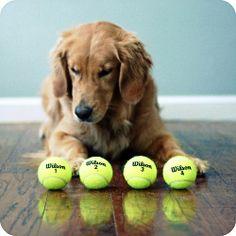 Retrievers and tennis balls