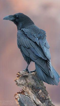 Cuervo grande - Common Raven - Kolkrabe - Grand Corbeau