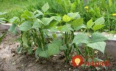 Držte se jich a nebudete litovat! Cenné triky našich babiček pro nejkrásnější květiny a bohatou úrodu! Flora, Beans, Gardening, Vegetables, Pergola, Drink, Greenhouses, Hacks, Plants