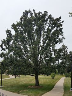 Bur Oak, one of the few drought resistant oak trees.  This tree is slow growing but can be provided a consistent water supply with the Waterboxx PlantCocoon, speeding up growth.  This tree can grow in Zones 3-8 and is easier to establish from a seedling when using the Waterboxx PlantCocoon.