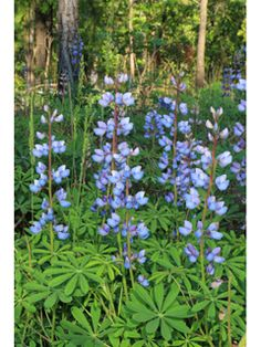 Lupinus perennis (Sundial lupine) - I want to try this in the asparagus bed.  It is one of the  only nitrogen-fixing plants I could find native to Md and asparagus is said to benefit from that, as well as phosphorus bio-accumulators like yarrow.