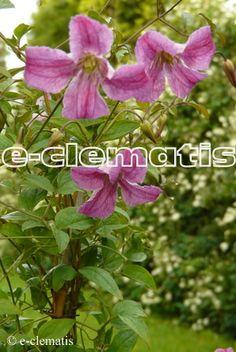 Clematis Krakowiak PBR E-CLEMATIS