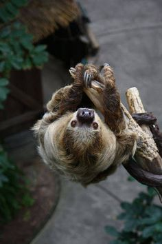 """funkysafari: """"Sloth by Mark Dumont """" Pictures Of Sloths, Cute Sloth Pictures, Cute Baby Sloths, Cute Baby Animals, Funny Animals, Small Animals, Three Toed Sloth, Tier Fotos, Fauna"""