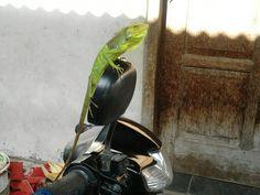 Go green chameleon...