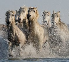 Five Camargue Horses Galloping through Water (2) by John Hallam Images, via Flickr