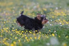 Jorkšyro terjerų veislės šuniukas I Yorkshire terrier puppy  #yorkshire #terrier #puppy #yorkie #dog #jorksyro #terjeras #suo #royalcaninlietuva #manosuo