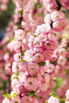 Prunus triloba in the stone fruit family, possibly a good option for spring flower in a small potted tree Rose Trees, Pink Trees, Magnolia, Backyard Pergola, Pergola Shade, Pergola Kits, Pergola Ideas, Flower Lei, Prunus