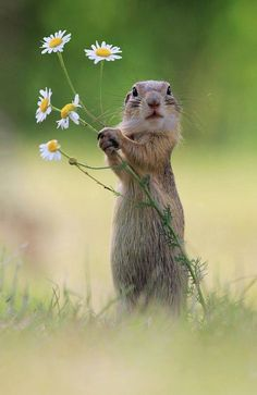 Will you make me the happiest squirrel in the world and be my forever mate? European Ground Squirrel - title A Handful of Flowers Cute Creatures, Beautiful Creatures, Animals Beautiful, Beautiful Flowers, Nature Animals, Animals And Pets, Nature Nature, Flowers Nature, Flowers Garden