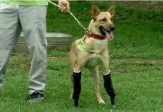 Lemon Pie gets prosthetic limbs
