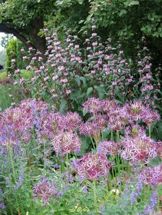 Phlomis tuberosa 'Amazone', a superb vertical for the sunny garden, mingling with Allium cristophii.