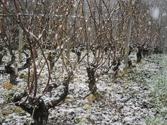 Domaine du Viking - #LoireHiver Rare dans le Vouvrillon : il neige sur le Chenin ! Photo prise à Reugny le 3 février 2015. #vouvray