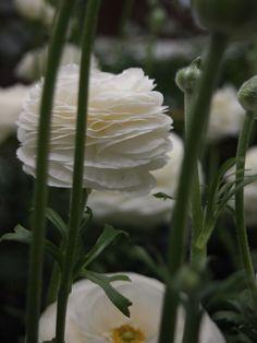Ranunculus  ラナンキュラス