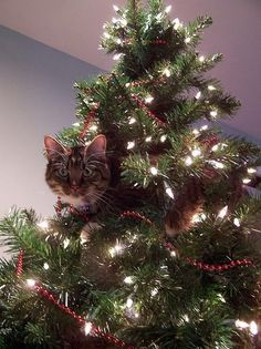 how to cat proof your tree. okay I have to admit I laughed. not at the cat in the tree. I have cats. that is a regular thing. seriously if the cat wants to be in the tree I'm thinking he'll be in the tree! Cat Christmas Tree, Christmas Animals, All Things Christmas, Christmas Time, Christmas Photos, Merry Christmas, Christmas Lights, Holiday Tree, Christmas Ornament