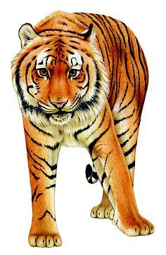 Tiger Most Beautiful Animals