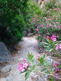 Oleander Im Wohnzimmer Überwintern | Nerium Oleander Flowers 2 Pinterest Flowers Shrub And Plants