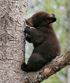 @pintsize73 GOOD MORNING. Bear Pictures, Cute Animal Pictures, Beautiful Creatures, Animals Beautiful, Animals And Pets, Funny Animals, Wild Animals, Bear Cubs, Grizzly Bears