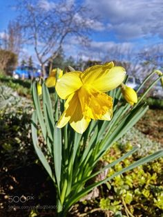 Nature : Daffodil afternoon sun at the house .... - nikdo. #Pinterest #photo #photography #landscape #people #girl #girls #hot #naked #cute #food #sport #travel #dress #fashion