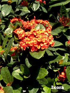 Hybrid Ixora 39 Maui 39 Planting Material Pinterest