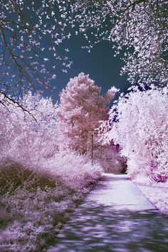 all pink - trees - flowers - amazing