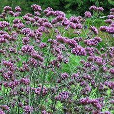 527 best perennials roses flowering bushes bulbs images on perennial verbena seeds for sale verbena bonariensis and verbena rigida tough easy to grow perennial plants flower the first year over a long season mightylinksfo