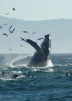 Dancing Humpback, by zorankovacevic