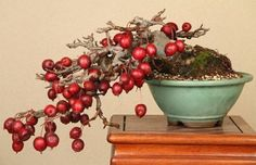 STUNNING-crab-apple-malus-sargentii-great-for-bonsai-bulk-50-seeds