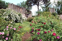 Roses among the ruins--The gardens of Ninfa