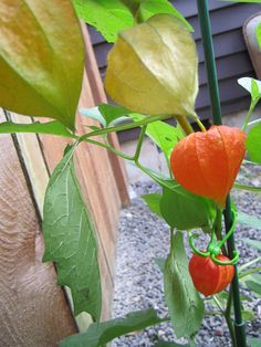 These Chinese Lanterns are being held up by my new favorite gardening gadget - Ultimate Plant Clips http://www.improveyourhomeandgarden.com/garden-product-review-plant-stakes-and-plant-clip