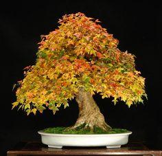 trident maple bonsai | trident maple bonsai | Trident Maple, white pot | Bonsai - Trident Ma ...