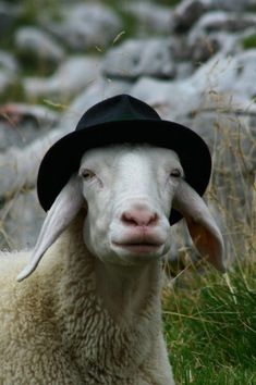 a sheep...in a hat