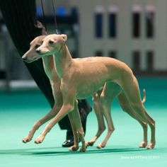 Love how synchronized they are! #italiangreyhounds