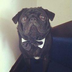 Mr Brady Boo the Smartest pug