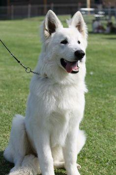 Nope! This isn't a white German shepherd. It's an Eishund White Swiss Shepherd.