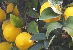 Citromfa, Citrus, Citrom - szaporítás, nevelése, metszése