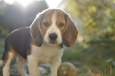 Moody, notre chiot Beagle